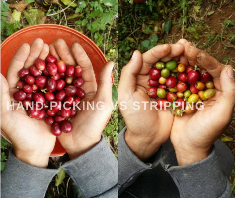 selective picking coffee cherries