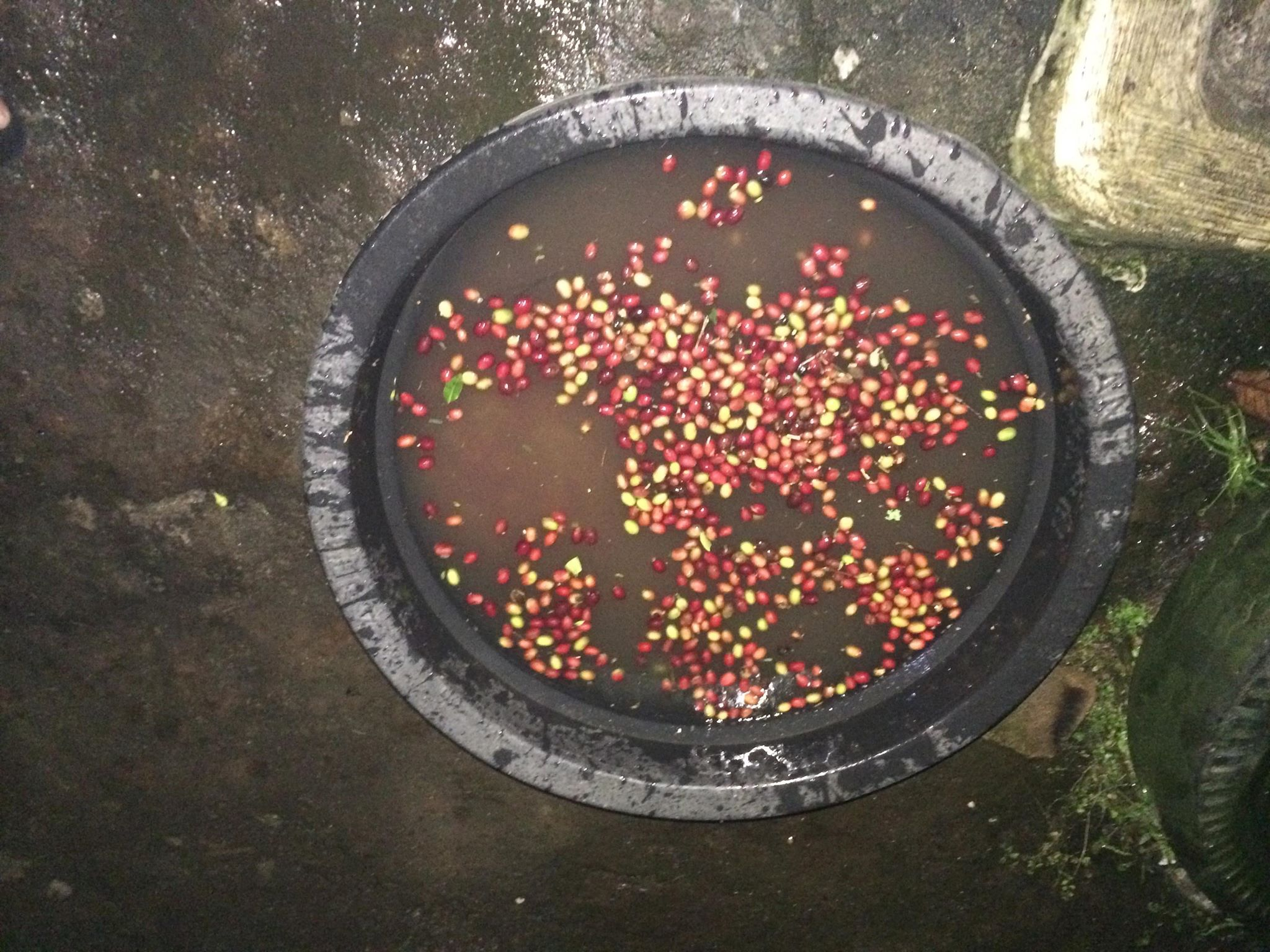 coffee cherry floating